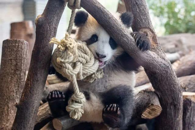德国动物园拟宰杀动物应对疫情,我们的熊猫怎么办?  第1张