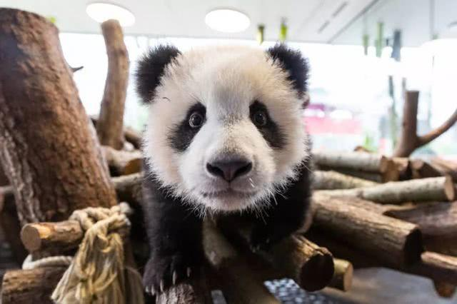 德国动物园拟宰杀动物应对疫情,我们的熊猫怎么办?  第3张