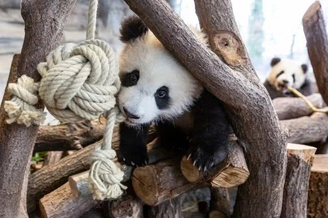 德国动物园拟宰杀动物应对疫情,我们的熊猫怎么办?  第2张