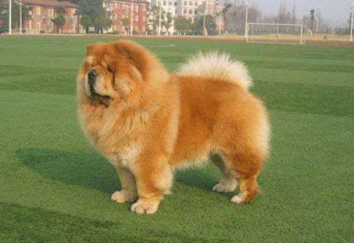安徽合肥就禁养犬名录征求意见 含黑背、松狮、秋田等  第1张