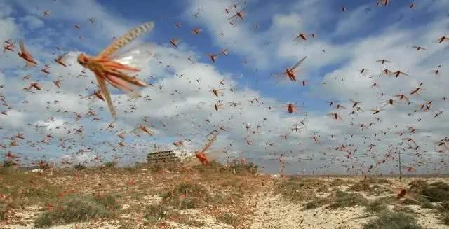 印尼遭遇数十年来最比较严重荒漠蝗灾 警员按响警报赶蝗虫  第1张