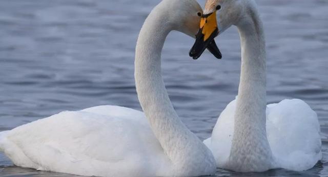 英国很多天鹅被怀疑感染了一种新病毒而死亡:在死亡之前,它们会转过身,从鼻孔流血。