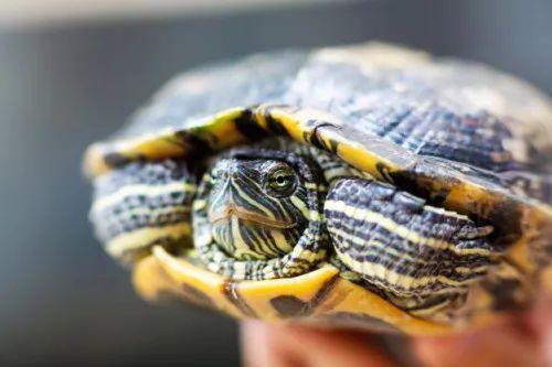 男星平安夜放生巴西龟,科普v说:很好。  第3张