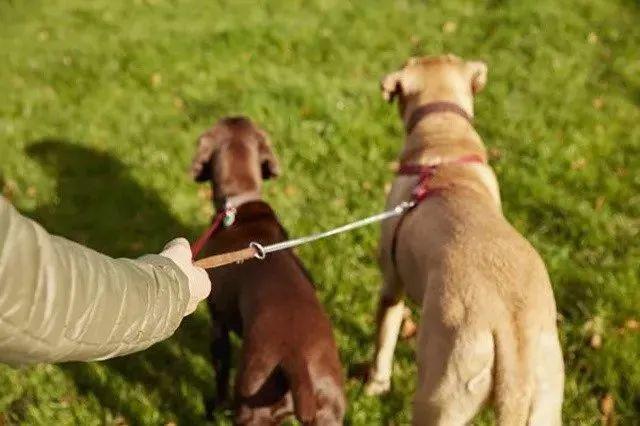 该女子因在街上遛男朋友像遛狗一样牵着皮带被抓,让人哭笑不得!